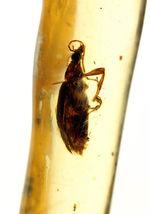 希少!甲虫類を内包したマダガスカル産コーパル(Copal)