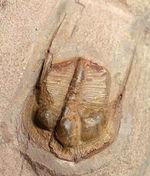 収斂進化の好例。マニア必見、オルドビス紀三葉虫、Broggerolithus sp.