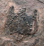 希少性S級!今や入手不可のオールドコレクション品。博物館級。約5000万年前のドイツ・メッセルピット産コウモリ、パレオチロプテリクス(Palaeochiropteryx)の化石