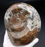 なんと直径最大部166ミリ!まさに特大!古生代デボン紀の頭足類、ゴニアタイト(Goniatite)の化石