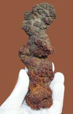 堂々の15センチ、300グラムオーバーのアレです。約5000万年前の水棲生物(おそらくはウミガメ)と思しき糞の化石(Coprolite)
