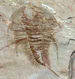 ベリーレア!市場に出回る数が少ない、カンブリア紀初期の三葉虫、オレネルス・テルミナトゥス(Olenellus terminatus)