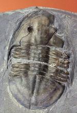 希少品、イソテロイデス・ポラリス(Isoteloides polaris)。三葉虫のヘビーコレクターだけが楽しめる、マニアックながら価値の高い品。