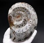 古生代デボン紀を代表する頭足類、16センチの大型標本。ゴニアタイトの化石(Goniatite)。アンモナイトの先祖。