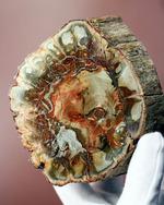 2億年超前の木化石が鮮やかに現代に現れました!両面ポリッシュで2面展示できる、赤が主役のマダガスカル産珪化木(ケイカボク)