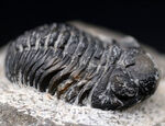 ビッグヘッドな風貌で一目瞭然、モロッコ産の三葉虫、リードプス(Reedops)