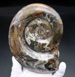 ビッグ&ビューティー!直径最大部165ミリの大判ゴニアタイト。色も複雑で美しい!アンモナイトの祖先