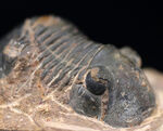 扇状の尾板で知られるモロッコ産の三葉虫、パラレジュルス(Paralejurus)