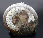 書斎のデスクに人気のゴニアタイト(Goniatite)の化石を置いてみませんか。アンモナイトの祖先