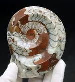 直径最大部10センチオーバー!明るいブラウンが印象的な、ゴニアタイト(Goniatite)の化石