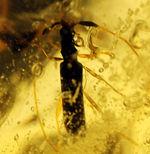 大小50匹以上の虫が内包された、マダガスカル産コーパル(Copal)