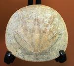 まるでコインのようなウニ、デンドラスター(Dendraster ashleyi)の化石。米国カリフォルニア州産。