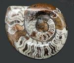 15センチオーバーの大判ゴニアタイト(Goniatite)の化石。初期型アンモナイト、モロッコ産。