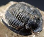 大きな一対の棘とツバが特徴的なデボン紀の三葉虫、コルヌプロエタス(Cornuproetus)の化石