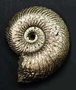 高い人気を博す、ロシア産の黄鉄鉱化アンモナイト、クエンステッドセラス(Quenstedotoceras)の化石