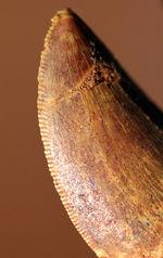 いかにも典型的、白亜紀の北アフリカの、大型の肉食恐竜、カルカロドントサウルスの歯化石