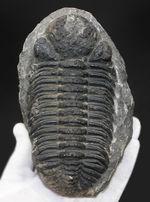 極めて巨大!背周り計測で17センチに達する、デボン紀のファコプス三葉虫、ペディノパリオプス・ローレンシス(Pedinopariops lohrensis)の化石