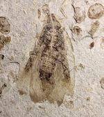 中国遼寧省産ジュラ紀後期から白亜紀前期にかけて棲息していた昆虫の化石