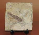 中国遼寧省産魚化石、リコプテラ。