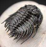 極めて上質!希少人気種、三葉虫レオナスピス(Leonaspis sp.)の高品位化石。フリル、棘、眼、シンメトリー、どれをとっても素晴らしい。