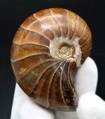 全面ポリッシュ、サービスプライス!オウムガイ(Nautilus)の化石。