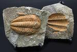 ネガポジ揃った、最初期(カンブリア紀)の三葉虫、パラドキシデス(Paradoxides)の化石