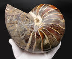 極めて巨大!2500グラムオーバー、厚み10センチオーバー!殻の一部に遊色あり!見どころ満載の、恐竜時代のオウムガイ、キマトセラス(Cymatoceras sp.)の高品位化石