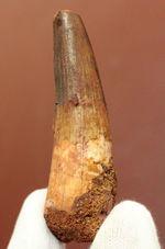 まだまだ目が離せない人気恐竜スピノサウルス(Spinosaurus)歯化石。上質のエナメル質。
