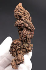 約5000万年前の水棲生物、ウミガメと思しき糞の化石(Coprolite)