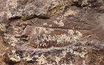 マニアック&レア、米国ユタ州産の絶滅古代魚、ナイティア(Knithtia)の化石