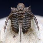 3本の棘が特徴的な人気のモロッコ産三葉虫、キファスピス(Cyphaspis boutscharafinense)