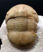 ベリーレア!ロシア産三葉虫ディスプラヌス・アクティゲニア(Dysplanus acutigenia)