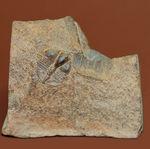 マニアックながらその希少性は見逃せない!三葉虫サルテロリソス(Salterolithus harnagensis)イギリス中西部産。