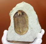 スーパーレア!アサフス・プラウティニのネガ(裏側)の化石。腹側から三葉虫を除く体験。