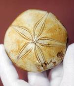 美しい五芒星が人気の秘密、マダガスカル産の古代のウニの化石。