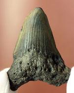 新生代の海のモンスター、メガロドン(Carcharodon megalodon)の本物の歯化石