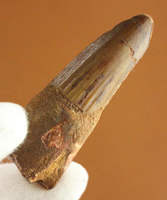 縦線、見えます!スピノサウルスの歯化石(Spinosaurus)/中生代白亜紀(1億3500万 -- 6500万年前)【di955】