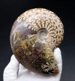 光らないクレオニセラスはいかが?白亜紀のアンモナイト、クレオニセラス(Cleoniceras)の化石