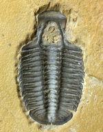 こりゃまたマニアック!ユタ州産ネガ三葉虫モドキア・ウィークセンシス(Modocia weeksensis)