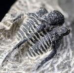 3本の棘に、コブ頭で知られる古生代モロッコ産三葉虫、キファスピス(Cyphaspis)の化石