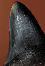 長い方の辺に沿って152ミリ、エクストララージ!美しいフォルムをした黒光りするメガロドン(Carcharodon megalodon)の歯化石