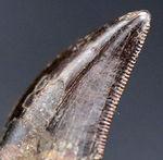 両面ともに、保存状態良好、上質のセレーションが残存、エナメル質も上等!100%ナチュラルのティラノサウルス・レックスの幼体の歯化石