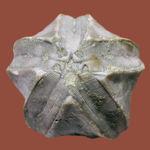 およそ3億年以上前の地層から採集されたウミツボミ、ペントレミテス(Pentremites sp.)の化石。米国テネシー州産。