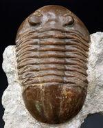 ベリーレア!めったに見られないハイポストマが完全に保存されている、ロシア産の三葉虫、アサフス(Asaphus)の化石