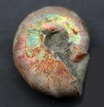 両面ともに遊色が保存された、マダガスカル産の遊色アンモナイト、デスモセラス(Desmoceras)の化石