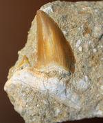 古代の肉食ザメ、オトダス歯化石。ちょうどよい角度で自立展示できます。(Otodus)