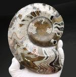 900グラム超え!サイズ、状態、模様、すべてを兼ね備えた一級のゴニアタイト(Goniatite)の化石。古生代を代表する頭足類
