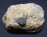 あのレオナスピスをこのプライスで!モロッコ産の奇々怪々な三葉虫、レオナスピス(Leonaspis) の化石
