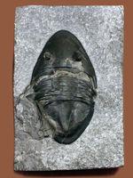 一期一会のレア標本!カナダ・オンタリオ州産三葉虫イソテルス・マフリッツェ(Isotelus mafritzae)