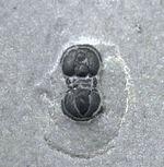 変わり種の三葉虫、ペロノプシス(Peronopsis interstrictus)の上質化石